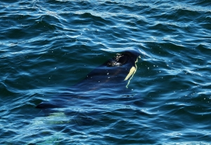 Orca surfacing at East Point. Photo by Kristen Kanes.