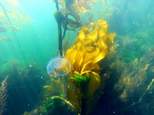 Jelly in the kelp forest near the deployment site