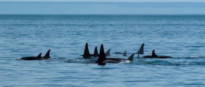 A group of resident orcas.